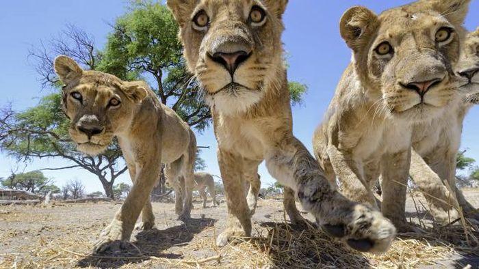 Львы против радиоуправляемой камеры (22 фото + видео)