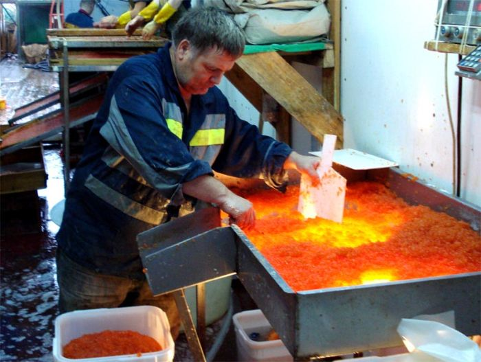 Как производят красную икру (12 фото)