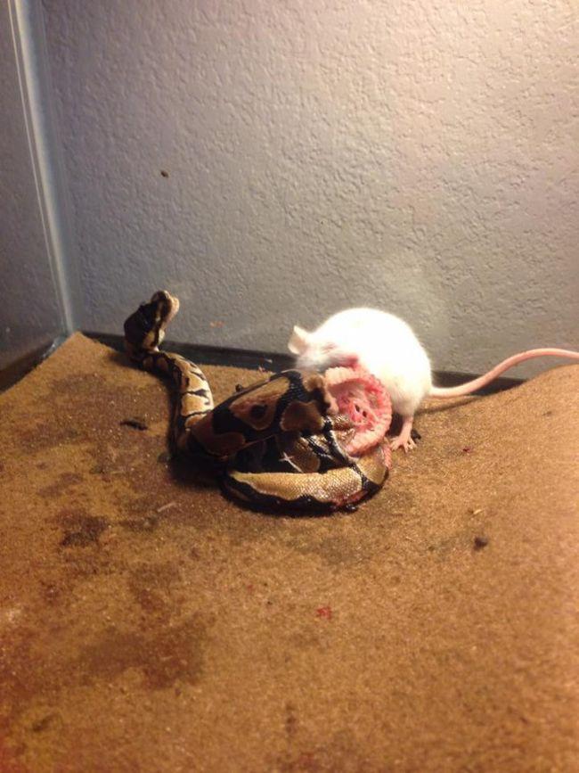 Покормил змею крысой... (2 фото)