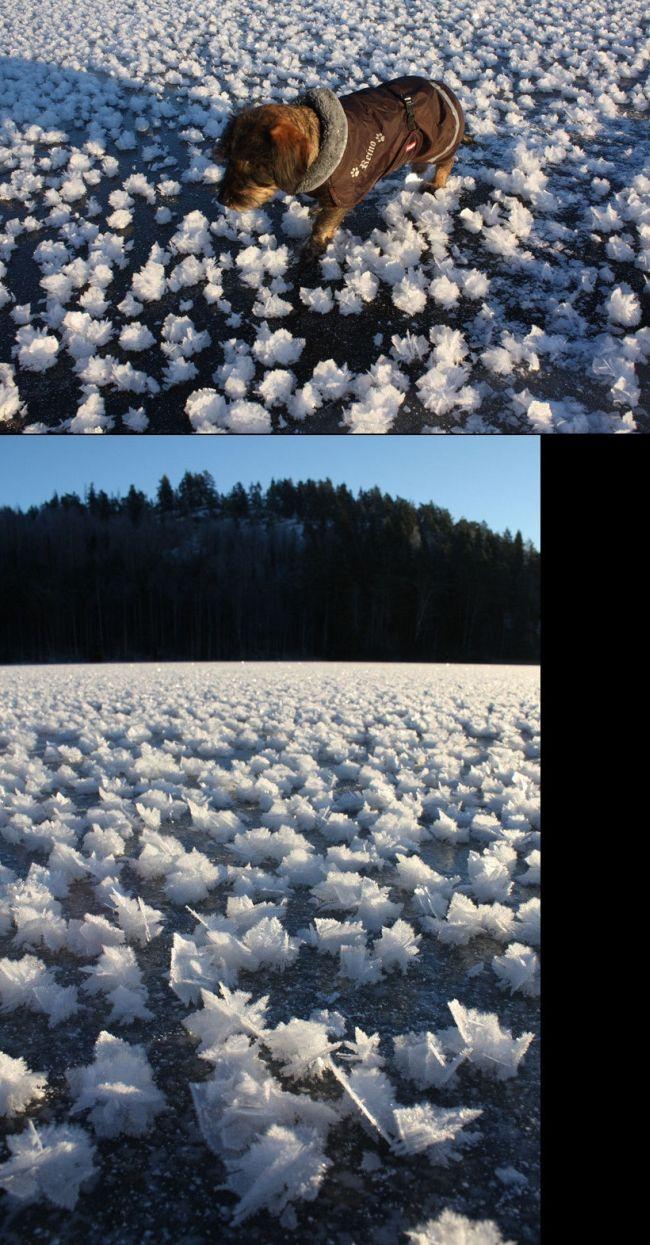 """Зимний феномен: """"ледяные цветы"""" (5 фото)"""