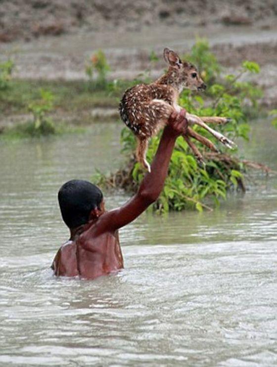 Героическое спасение тонущего оленёнка (11 фото)