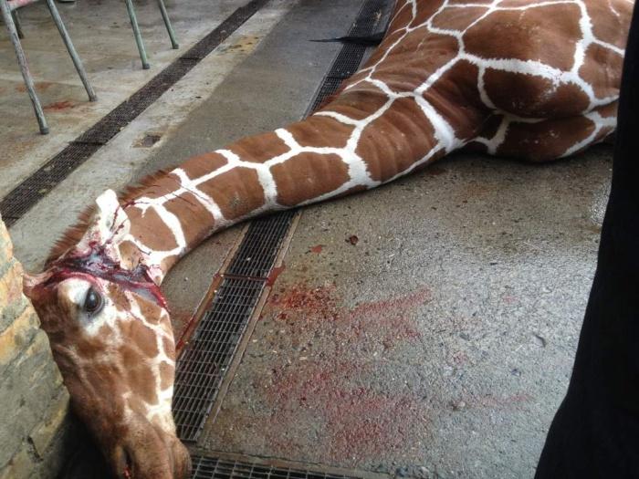 Жестокое убийство жирафа Мариуса сотрудниками зоопарка в Дании (13 фото)
