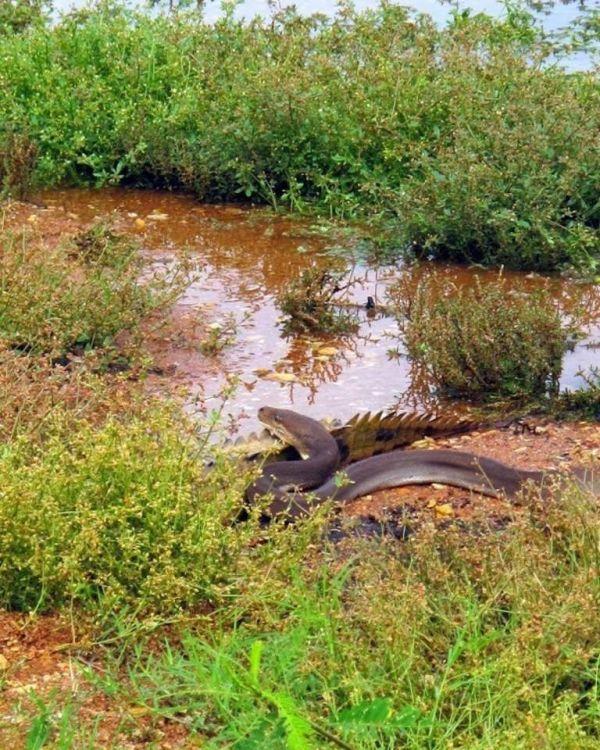 Смертельная схватка хищников: питон против крокодила (13 фото)