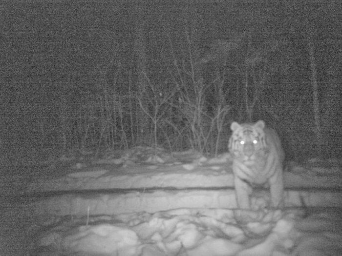 Спасение Амурских тигров от вымирания (32 фото)