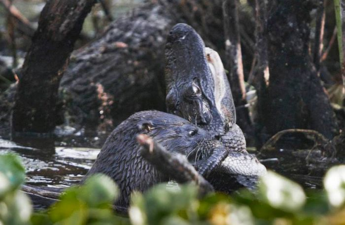 Выдра против аллигатора (5 фото)
