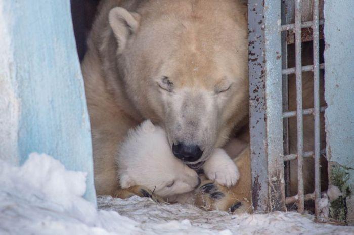Недавно рожденный медвежонок в Новосибирском зоопарке (15 фото)