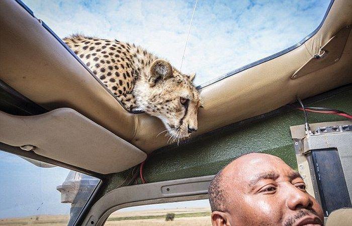 Почему нужно закрывать люк на крыше автомобиля во время сафари (5 фото)