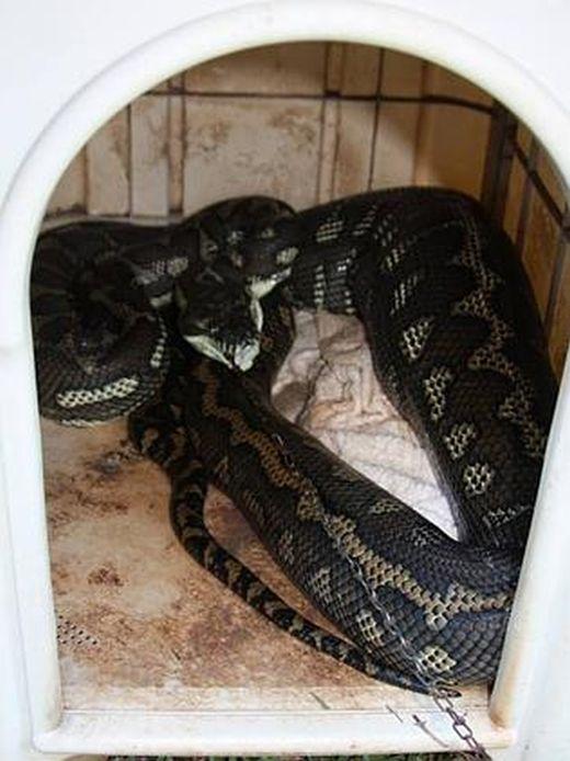 Огромный питон оказался в ловушке, съев домашнюю собаку (3 фото)