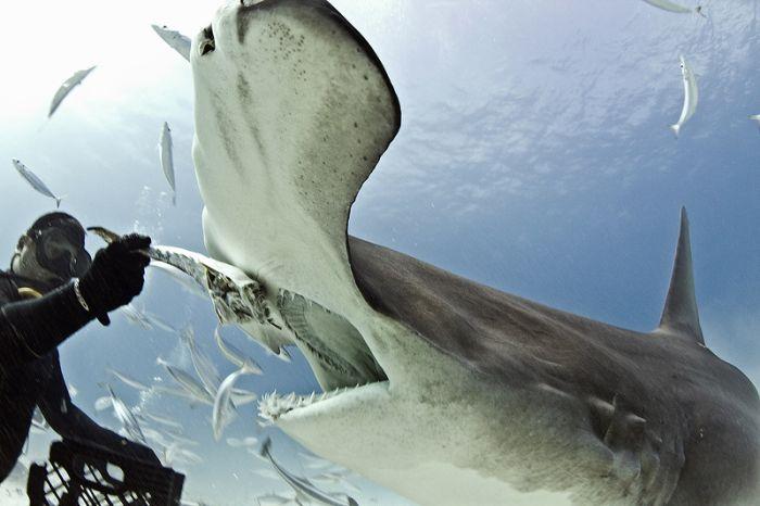 Кормление акулы-молота из рук аквалангиста (5 фото)