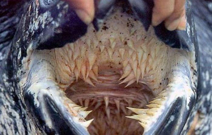 Один из самых необычных видов черепах на Земле (4 фото)