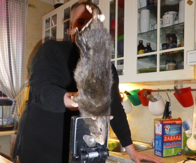 Крыса-монстр угодила в ловушку (3 фото)