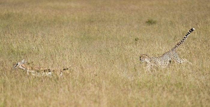 Тест на внимательность: найдите леопарда на снимке (5 фото)