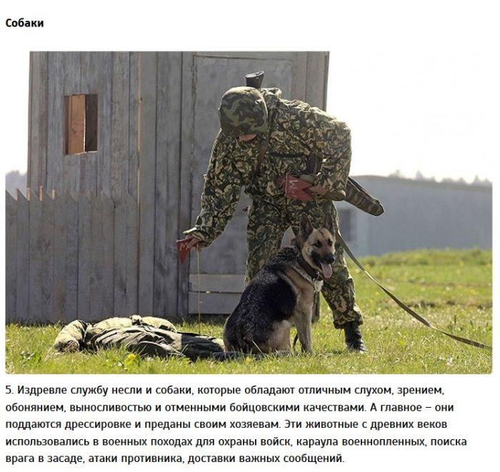 Животные на службе в армии (9 фото)