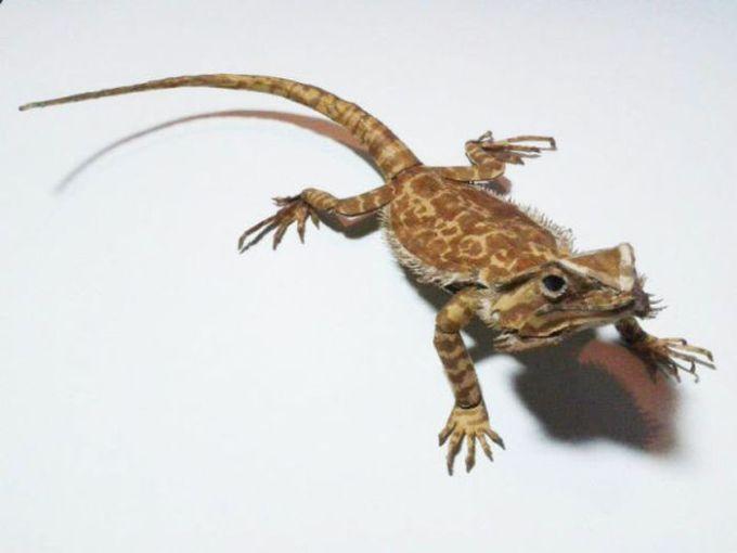 Необычная ящерица (24 фото)