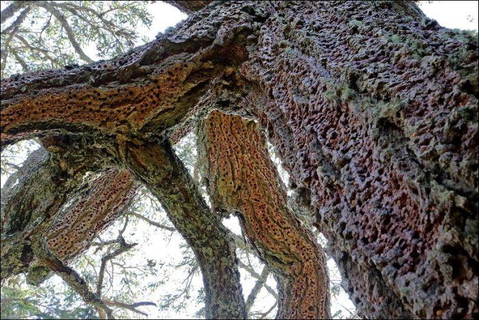 Как дятлы готовятся к зиме (5 фото)