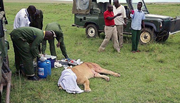 Жуткие последствия схватки львицы с буйволом (9 фото)