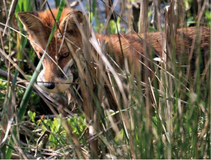 Хитрая лисица и остров на реке (7 фото)