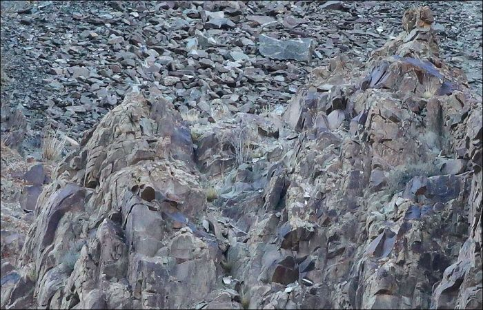 Невидимый хищник Гималаев (11 фото)