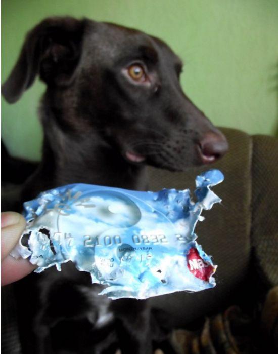 Не оставляйте ценные вещи на виду, если у вас есть собака (2 фото)