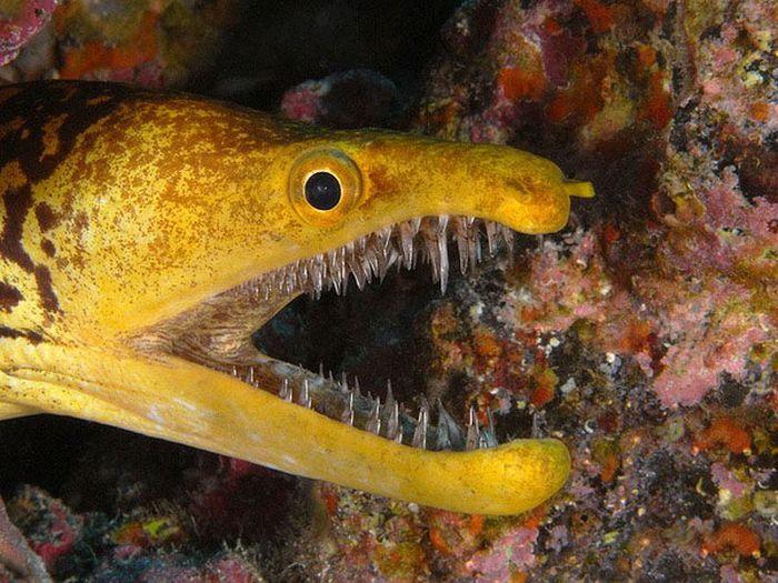 Саблезубая мурена: опасный обитатель Атлантического океана (5 фото)
