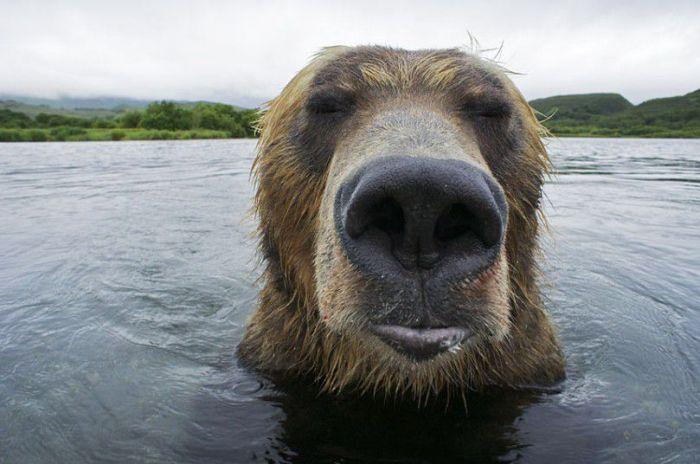 Медвежья рыбалка на Камчатке (20 фото)