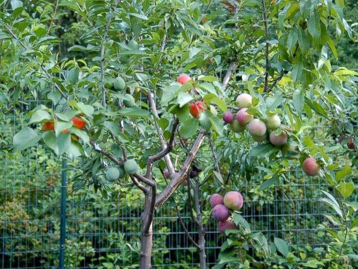 Дерево, на котором растет 40 видов фруктов (8 фото)