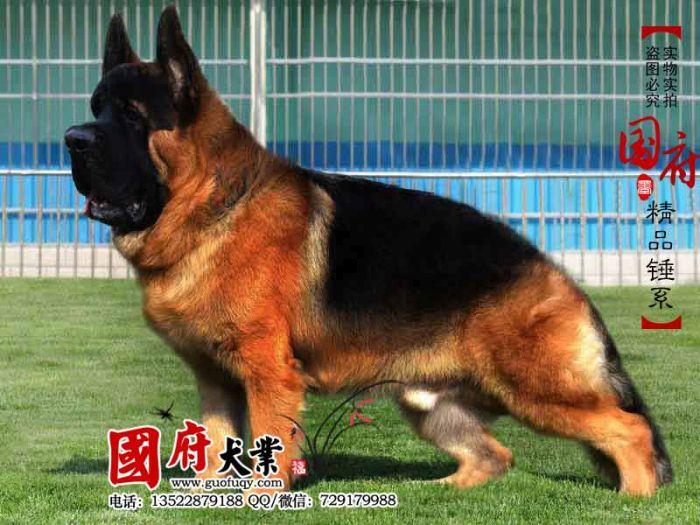 Немецкая овчарка по-китайски (12 фото)