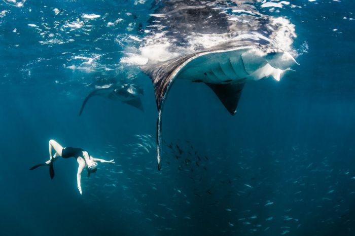 Удивительная фотосессия с китовыми акулами (21 фото)