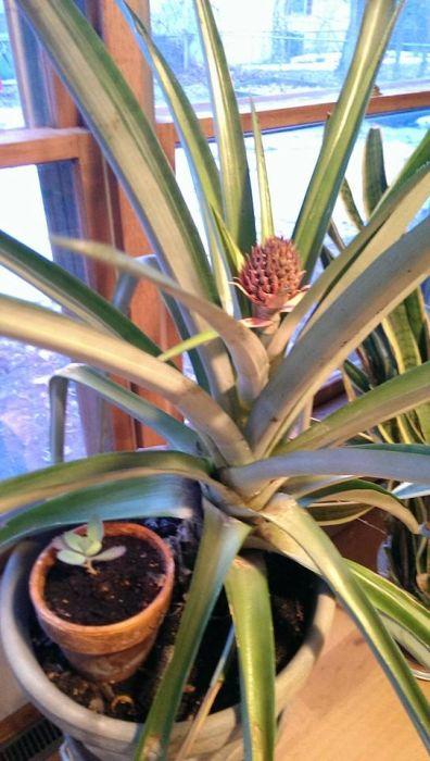 Что будет, если посадить в землю купленный в магазине ананас (20 фото)