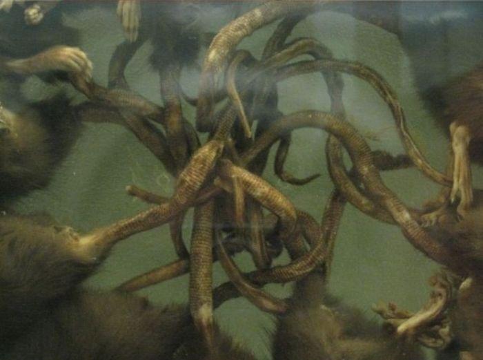 """""""Крысиный король"""" - необычное явление, которому нет научного объяснения (11 фото)"""