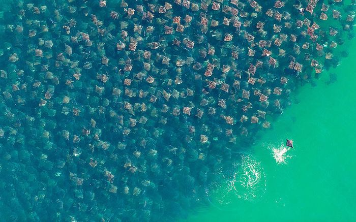 Сезонная миграция тысяч скатов (8 фото)