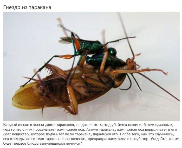 Жуткие паразиты, превращающие свою жертву в зомби (12 фото)