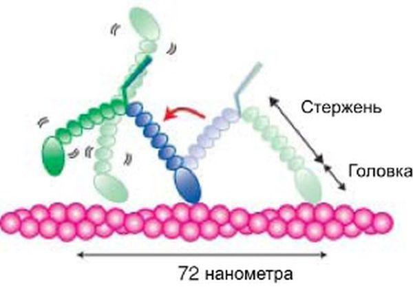 Что происходит с белком внутри живой клетки (4 фото)