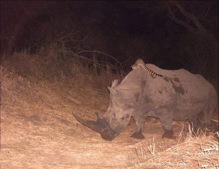 Безопасный способ передвижения по саванне в темное время суток (6 фото)