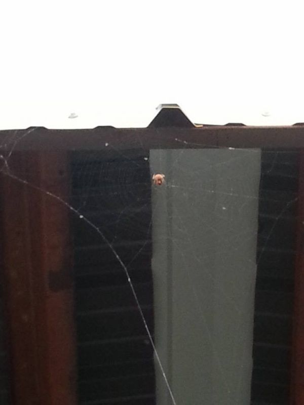 Паук-инженер и необычная паутина (4 фото)