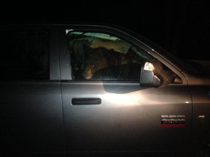 Медведица и медвежонок переночевали в машине (3 фото)
