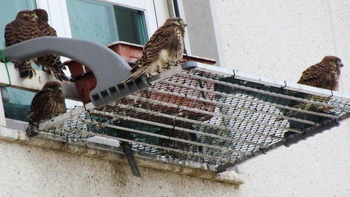 Семейство соколов поселилось на окне жилого дома (6 фото)