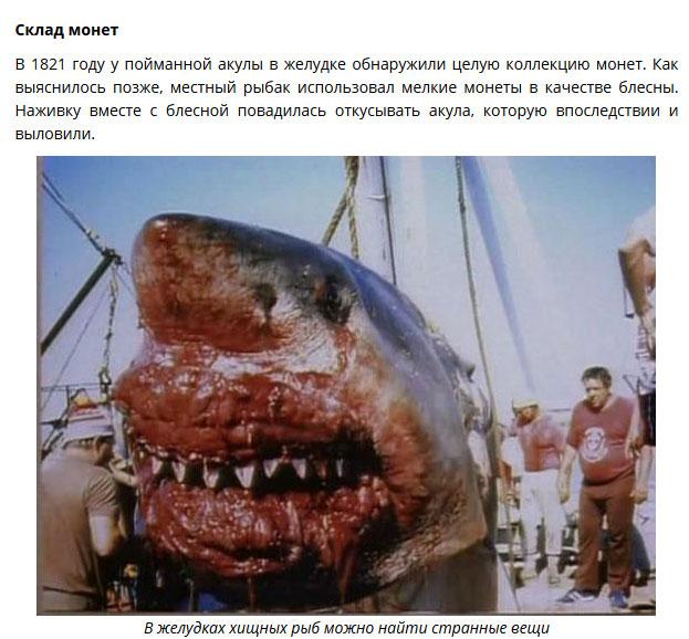 Что находят в желудках пойманых акул