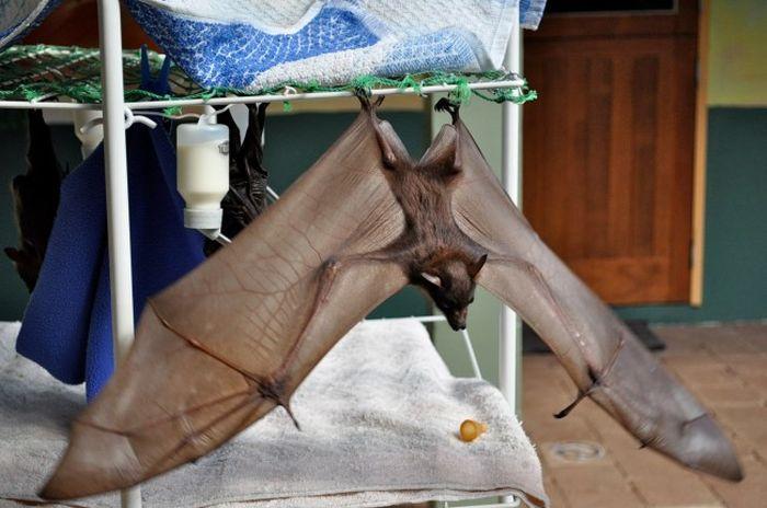В Австралии работает больница для летучих мышей (12 фото)