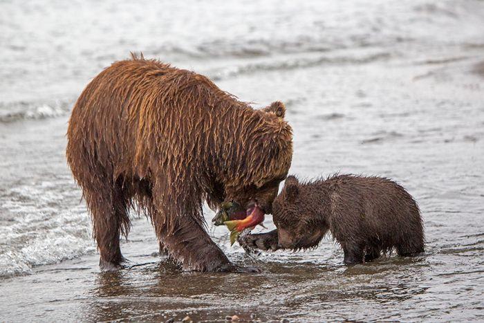 Курильское озеро - «поселок медведей» (32 фото)