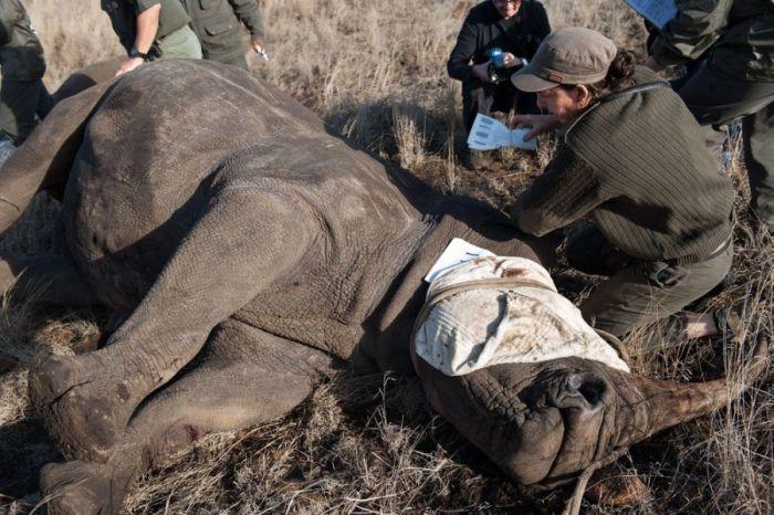Носорогов спасли от браконьеров (15 фото)