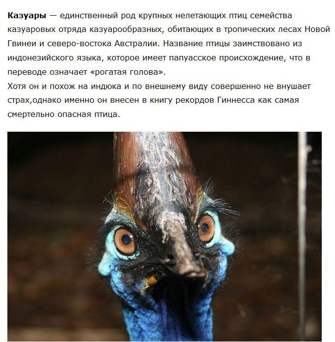 Казуар - птица, которой не стоит попадаться на пути (4 фото)