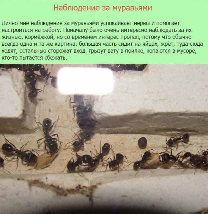 Муравьи в роли домашних животных (11 фото)