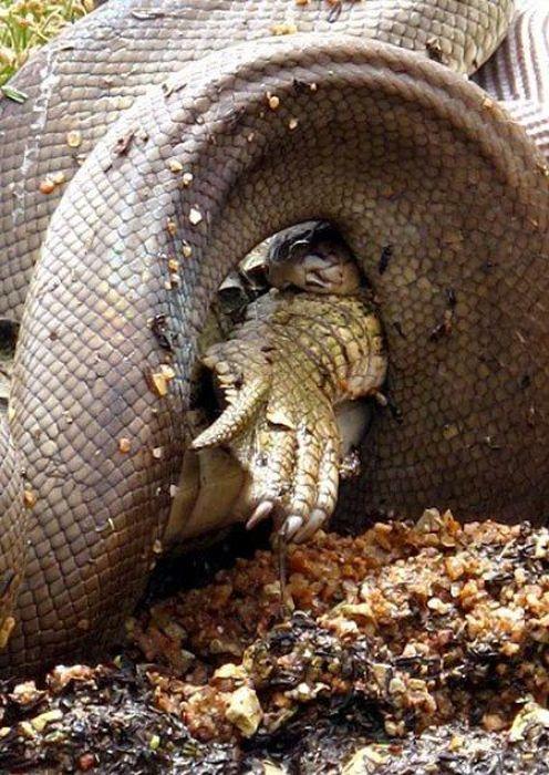 Змея пообедала крокодилом (19 фото)