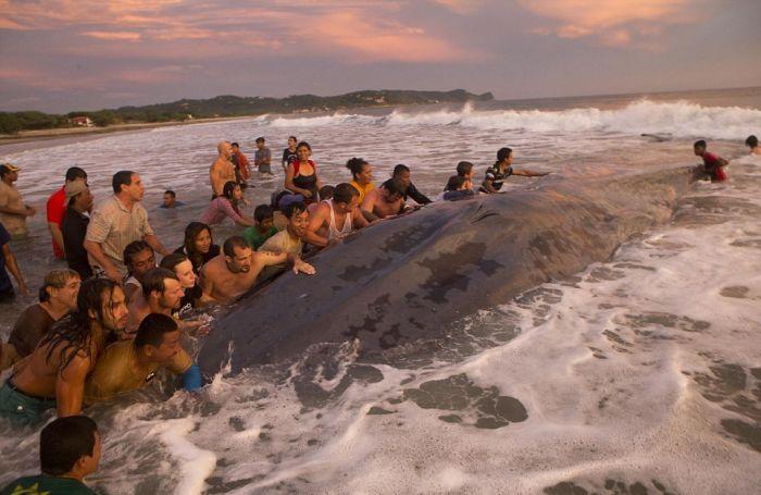 Жители и туристы Никарагуа попытались спасти кита (12 фото)