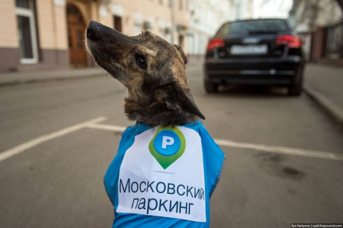Ряды парковочной полиции пополнятся собаками (24 фото)