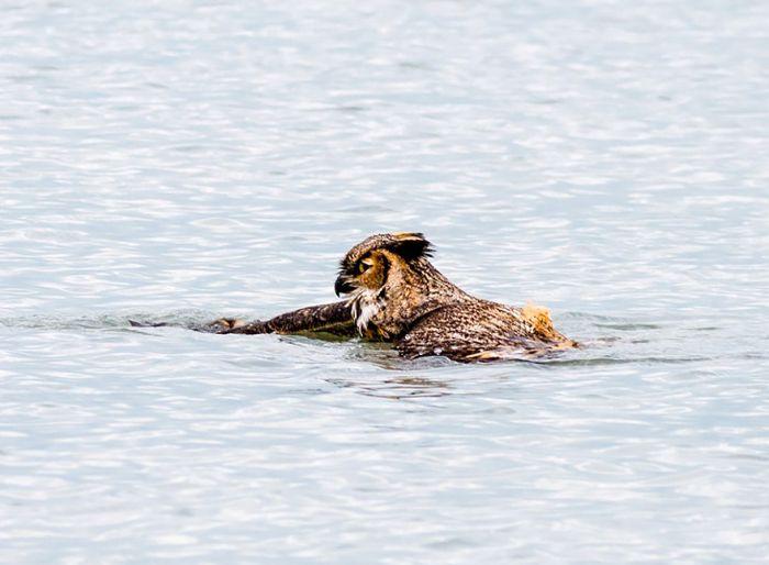 Филин, который научился плавать брасом (7 фото)