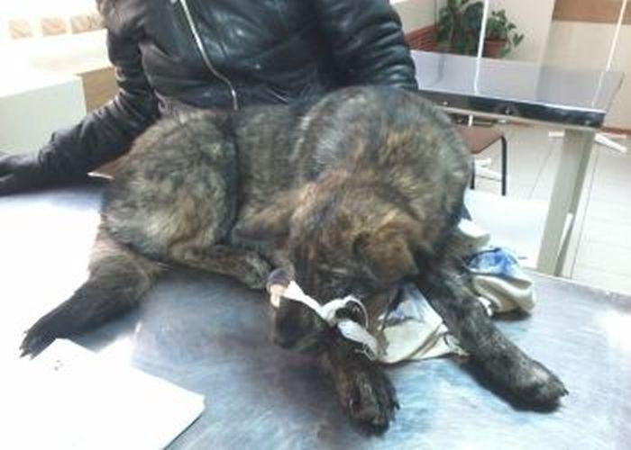 Под Благовещенском спасли собаку с перебитыми задними лапами (5 фото)
