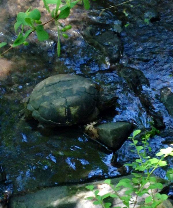 Фотоотчет о спасении черепахи (6 фото)