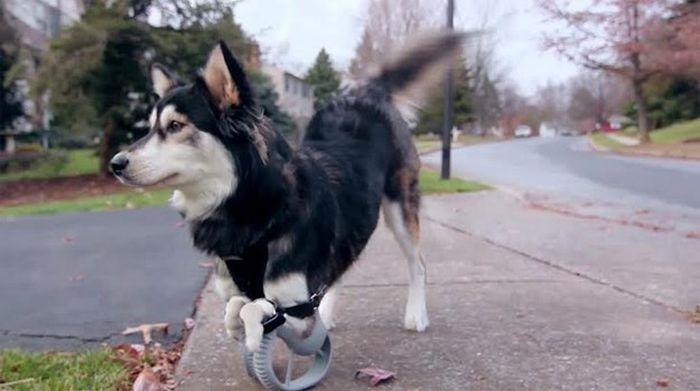 Собака-инвалид получила 3D протезы (7 фото)